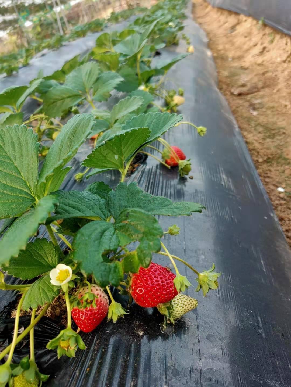 【寶安·親子采摘】草莓季來了~ 29.9元搶1大1小法蘭地草莓采摘親子門票!