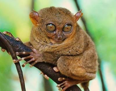 菲律宾宿务岛4天游:菲律宾迷你眼镜猴