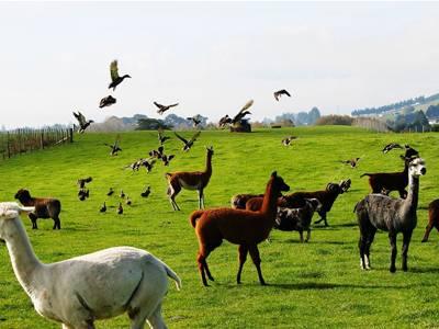 新西兰爱歌顿农场