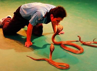 泰国六日游-毒蛇研究中心表演