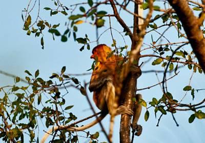 沙巴五天游_马来西亚沙巴威士顿长鼻猿生态萤河之旅保护区