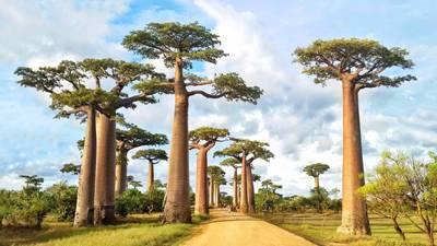 毛里求斯、马达加斯加12天游_马达加斯加猴面包树大道