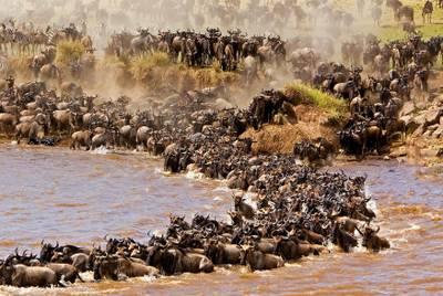 肯尼亚八天游:肯尼亚马赛马拉的马拉河动物大迁徙