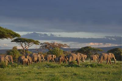 肯尼亚、坦桑尼亚14天游:肯尼亚安博塞利公园的大象