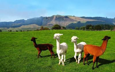 新西兰8天游_新西兰爱歌顿农庄