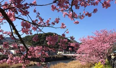 日本六日游_日本河津樱花祭