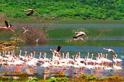 肯尼亚10天游_肯尼亚博戈里亚湖火烈鸟