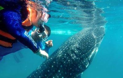 菲律宾宿务岛4天游:菲律宾奥斯洛布看鲸鲨