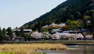 日本6天游:神鹿公园樱花