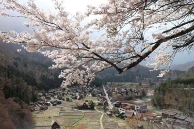 日本6天游:日本白川乡合掌村樱花