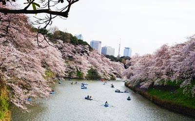 日本6天游:千鸟之渊赏樱