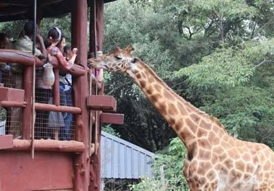 非洲四国14天游_内罗毕长颈鹿公园