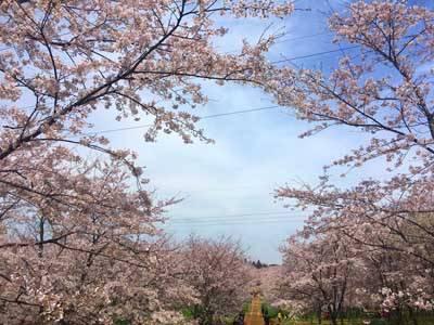 贵州五天游_贵州平坝樱花园