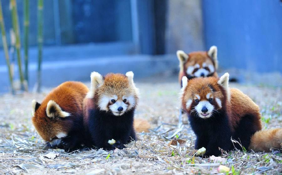17-火鸟山谷-小熊猫.jpg
