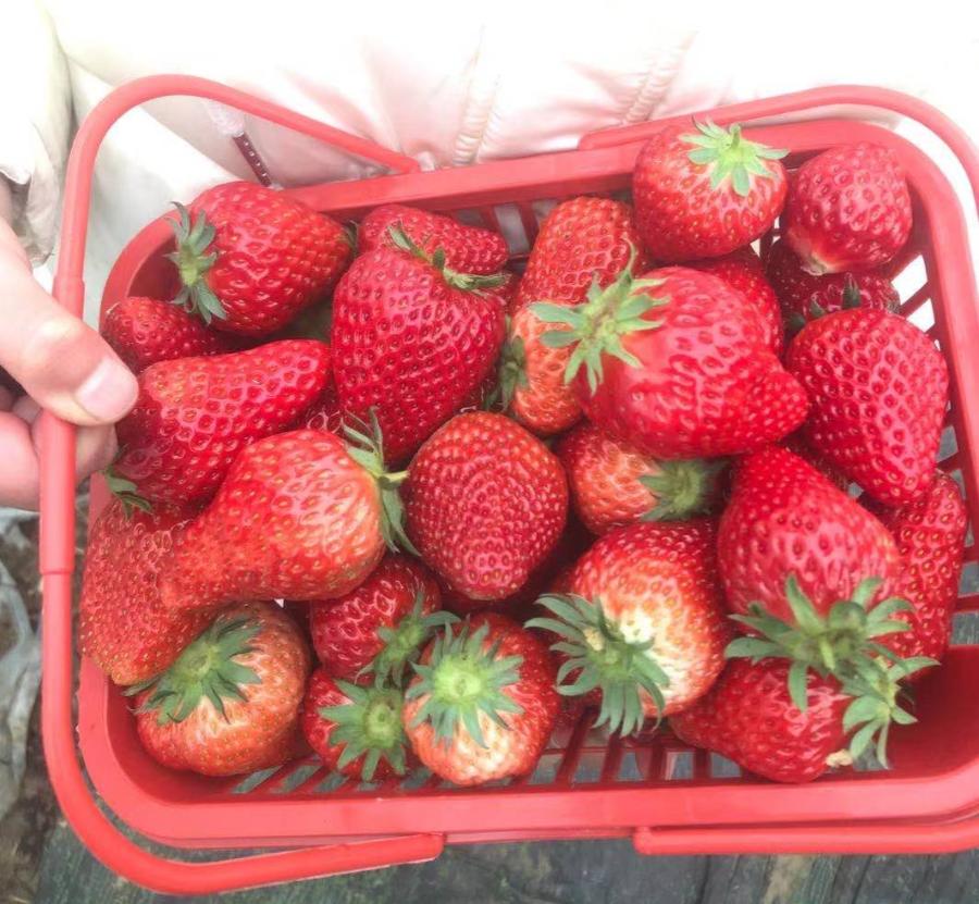 可带走2斤奶油草莓【绿色有机草莓采摘园】49.9元抢门市价70元两大一小或者3人门票