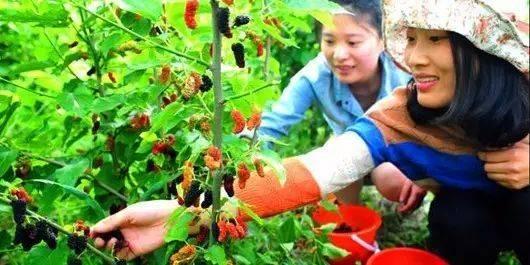 采桑葚了,19.9元享宝安区草莓园1大1小亲子采摘套票,桑果随便吃!