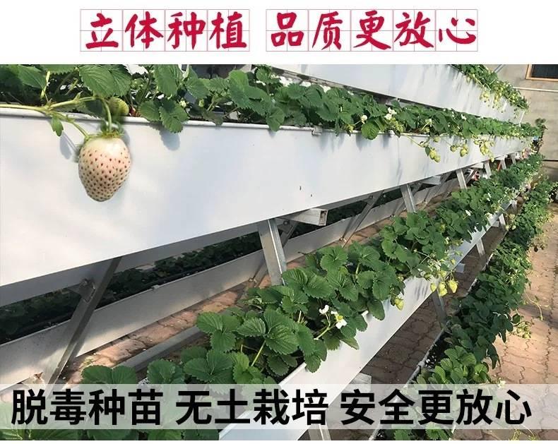 【顺丰包邮】69.9元抢桃薰白草莓4盒装,每盒12-15个,包邮到家顺丰生鲜配送。