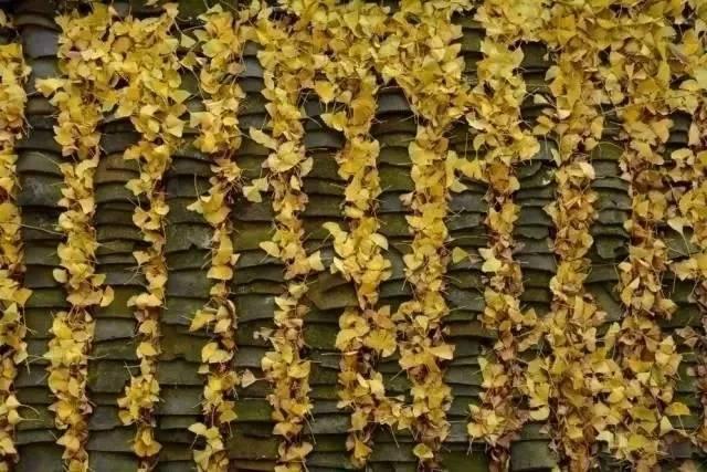 【限量1000份】【清远~阳山】第四届阳山小江银杏节门票19.9元【一大一小】赏百亩银杏林、千年银杏树,这个秋天邀您走进粤北最美银杏村