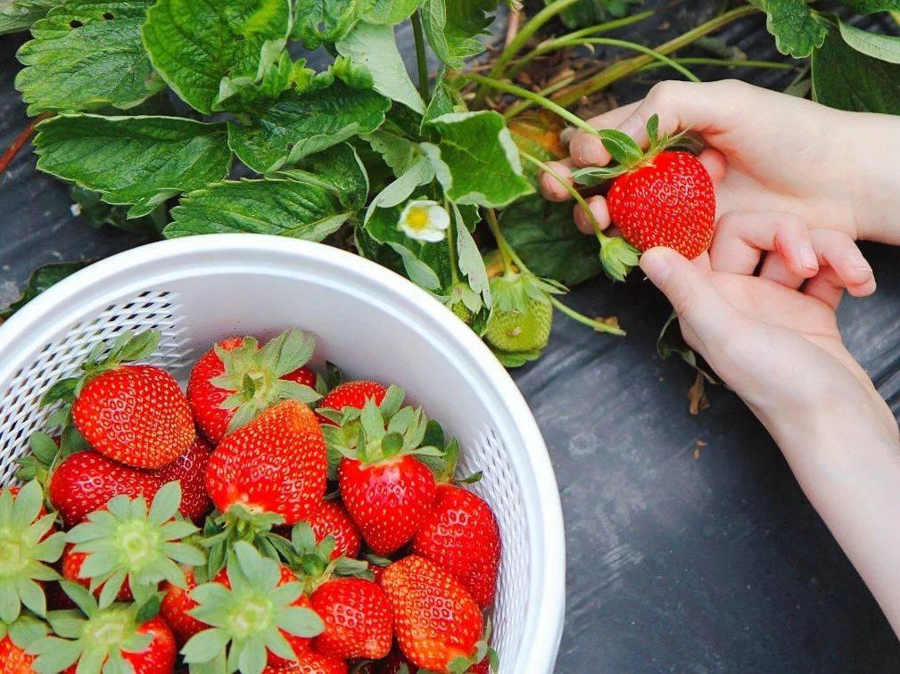 【宝安·草莓】29.9元享2大2小草莓园采摘家庭套票,赠送一斤红颜草莓!平日采摘加送圣女果/有机蔬菜1斤。