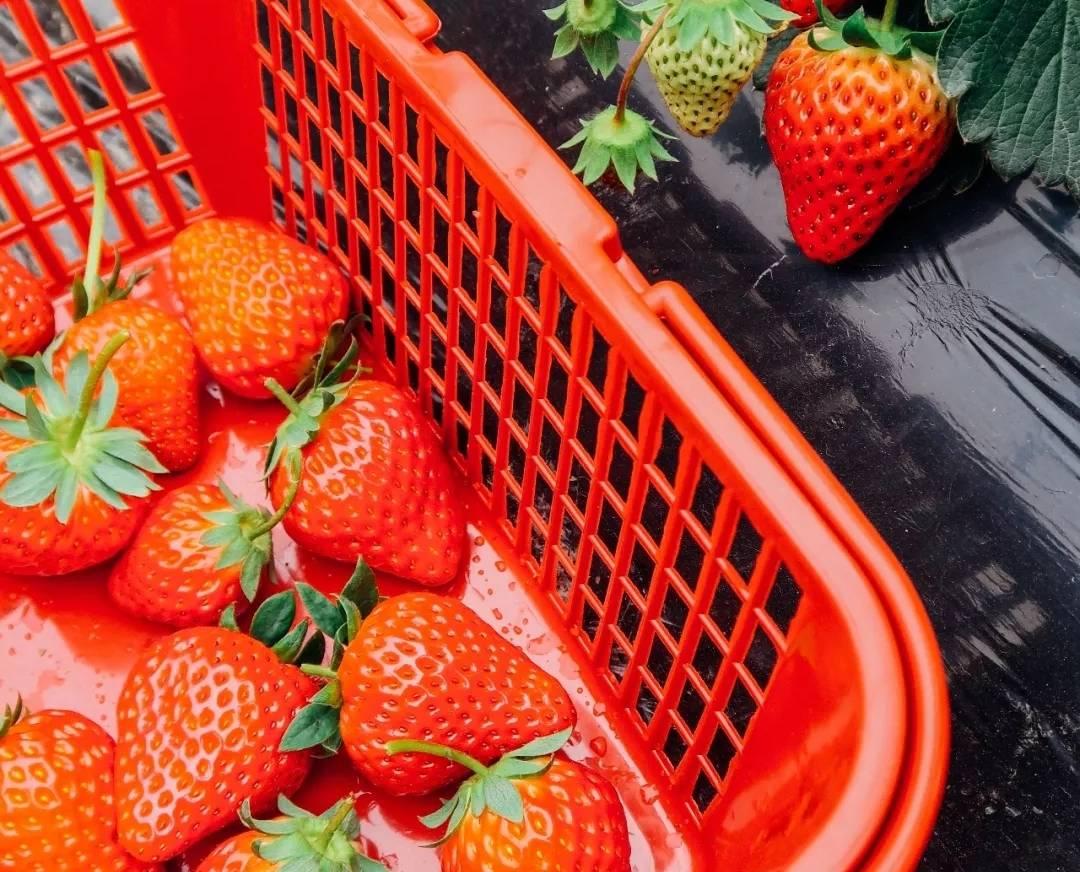【宝安·采摘】踏青好去处~ 26元享2大2小草莓采摘家庭套票,赠送一斤牛奶草莓,还赠捞鱼体验+喂养兔子+免费停车
