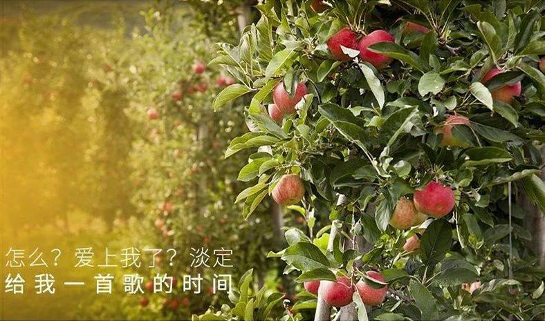 爆卖10万+!陕西膜袋红富士苹果10斤仅需¥39.9,现摘现发,品质如一,好吃到皮都不放过!