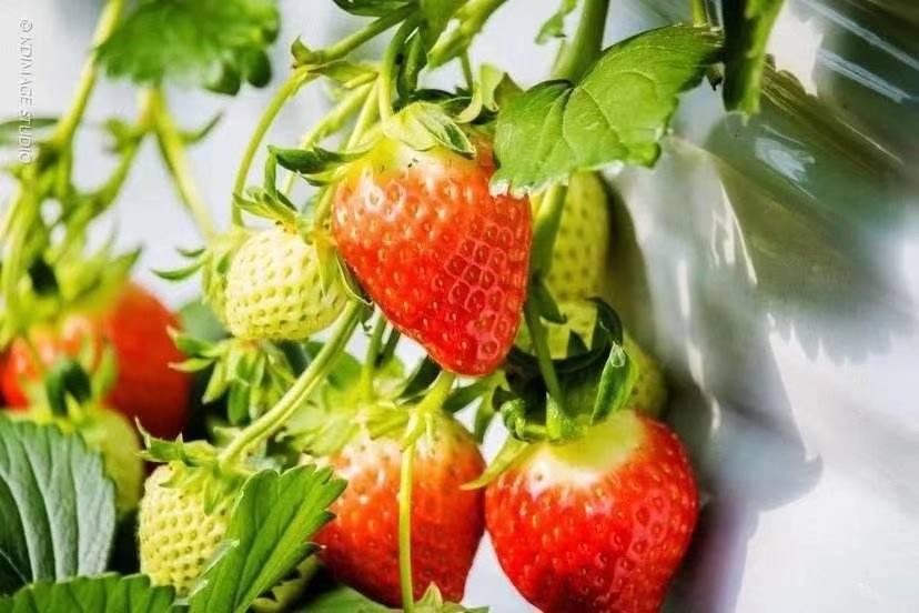 【杭州】约会春天,69.9元抢购『莓好时光草莓园』亲子游采摘套餐!摘金牌草莓,赏千亩油菜花,畅玩一天!还有3斤草莓免费带走!