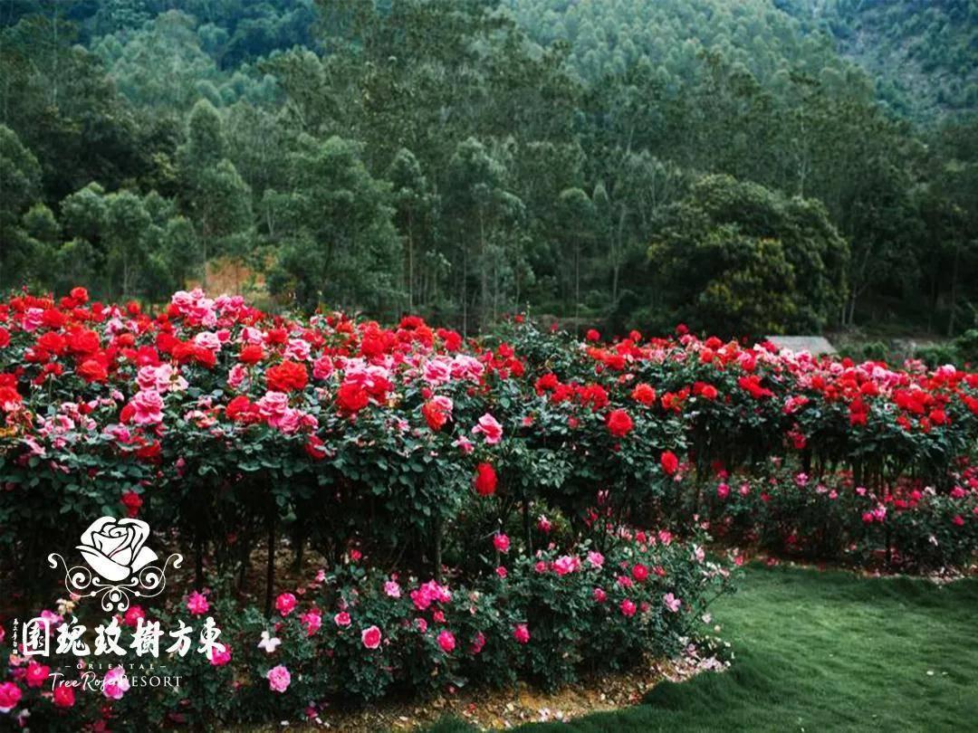 【惠州博罗】东方树玫瑰园!特价19.9元抢门票!置身于浪漫玫瑰花海,呼吸新鲜空气!数量有限!端午及暑假不加价!