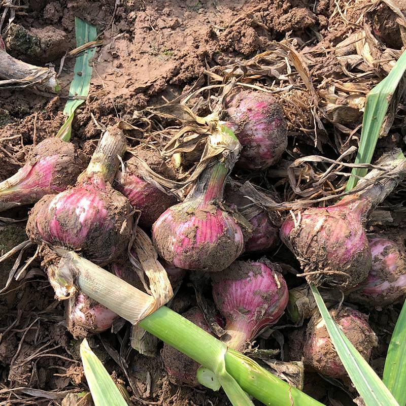 【全国包邮】8.8元=3斤紫皮大瓣蒜,新鲜现挖,蒜香浓郁!