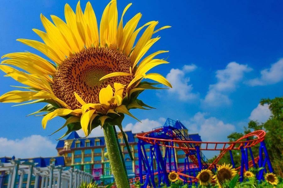 【广州百万葵园】2大2小门票78元限时特惠!周末/暑假通用!